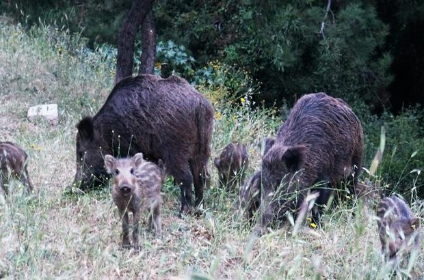Bodrum'da şehri merkezine inen domuzların ormanda kalması için çalışma başlatıldı