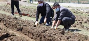 Diyadin'de 10 Bin 400 adet lavanta ekimi yapıldı