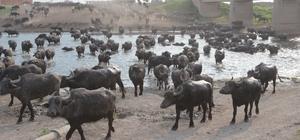 (ÖZEL) Serengeti Parkı değil Balıkesir Ovası Mandaların eve dönüşü antilop göçünü anımsattı