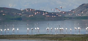 (Özel haber) Van Gölü Havzası'nın narin kuşları flamingolar