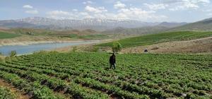 """Ot bitmeyen tarlalarda şimdi """"çilek"""" yetiştiriliyor Kahramanmaraş'ta farklı aroması ve büyüklüğü ile dikkat çeken yediveren cinsi çilekler, onlarca çiftçinin yeni ekmek kapısı oldu"""