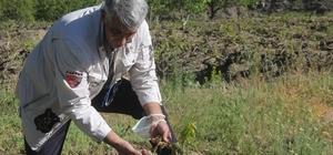 Erzincan'da üzüm bağlarını don vurdu