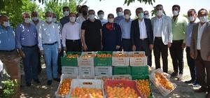 Amik Ovası'nda kayısı hasadı başladı Hatay'da üretilen 36 bin ton kayısının bir bölümü Ortadoğu ve Avrupa ülkelerine ihraç ediliyor