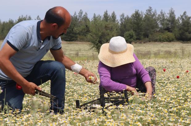 """Şifa deposu Mayıs papatyasında hasat zamanı Papatya toplayıcısı Yaşar Çelik; """"Her papatya toplanmıyor, Mayıs ayında küçük çayırlardaki doğal papatyaları topluyoruz"""""""