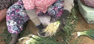 Tire'de taze soğan hasadı devam ediyor Soğan üreticisi tam kapanmaya rağmen işinin başında