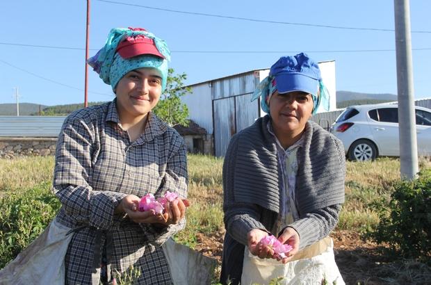 (ÖZEL) Isparta'da gül hasadı başladı Sessiz başlayan gül hasadında turizm beklentisi bayramdan sonraya kaldı Sabahın erken saatlerinde  toplanan gül çiçeği, çuvallara konularak, önce kantarlarda tartılıyor daha sonra fabrikalara taşınıyor. Sadece Ardıçlı köyünde bin işçi gül çiçeği hasadı yapıyor