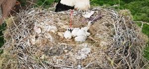 (Özel) Çanakkale'de yavru leylekler yumurtadan çıktı
