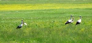 Muş Ovası'nda leyleklerin görsel şöleni