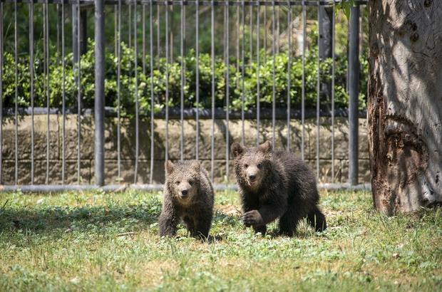 Bozayı yavruları Tarsus Doğa Parkı'nın neşesi oldu Parkın en çok ilgi gören hayvanları arasında yer alan ve iri cüsseleri ile dikkat çeken boz ayıların sayısı iki sevimli yavrunun dünyaya gözlerini açmasıyla arttı