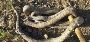 Havalar ısındı, yılanlar ortaya çıktı