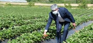 """Yayladağı çileğinin yüzde 80'i ihraç ediliyor Hatay Valisi Doğan: """"Yayladağı'nda çilekten 80 milyon liralık gelir elde ediliyor"""" """"Çilek, savaştan kaçıp buraya gelen Bayırbucak Türkmenleri için de gelir kaynağı oldu"""""""