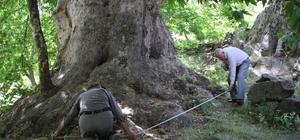 Tam bin yıllık çınar, 22 metre gövdeye sahip Tunceli'de bir mezrada bulunan Kültür ve Tabiat Varlıklarını Koruma Kurulu tarafından tescillenerek koruma altına alınan bin yıllık çınar ağacı, 30 küçükbaş hayvanın sığacağı mağarayı andıran kökü ve alt gövdesi dikkat çekiyor