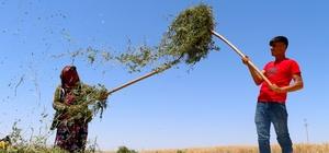 Nanede hasat zamanı Türkiye ihtiyacının yüzde 80'ini karşılayan Nizip nanesinin hasadı başladı