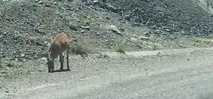 Dağ keçileri karayoluna indi