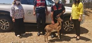 Jandarmadan dağ keçisine yardım eli