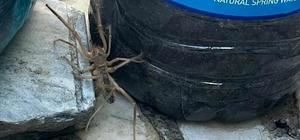 Et yiyen örümcek Muğla'da paniğe neden oldu