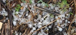 Çiftçiyi kuraklıktan sonra dolu vurdu Menteşe Esençay mahallesinde dolu yağışı sonrası zeytin, üzüm, hububat ürünleri zarar gördü.