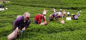 """Fındığın başkentinde çay hasat etkinliği düzenlendi Giresun Ticaret ve Sanayi Odası Başkanı Hasan Çakırmelikoğlu: """"Giresun'un doğusunda ilçeler çay ve fındığa en elverişli toprağına sahiptir ve fındıkta olduğu gibi çayın da en kalitelisi üretiliyor"""""""