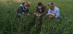 Aslanapa'da yeni çeşit buğdayların gelişim kontrolleri yapılıyor