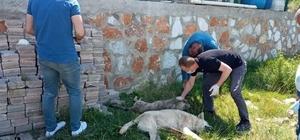 Yalova'da 7 köpek zehirle öldürülerek telef edildi