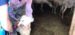 Şaphane'de küçükbaş hayvanlara veba aşısı