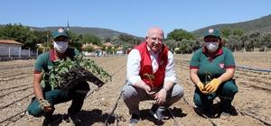 55 bin ata tohumu fideleri toprakla buluştu Menteşe Belediyesi Kafaca Mahallesindeki 7 dönümlük tarım arazisinde 55 bin ata tohumunu toprakla buluşturdu.