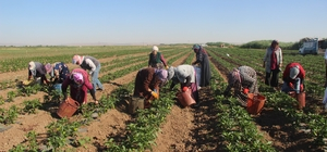 Suriye sınırında acı hasat