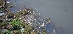 """Çark Deresi'ndeki balık ölümlerinin sebebi belli oldu Dere temizliği esnasında oksijensiz kalan balıklar ölmüş Vatandaş Nail Özer: """"Oksijensizlikten balık ölümleri olabilir, başka bir şey olmaz"""""""