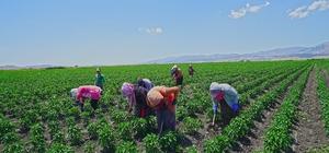 Kahramanmaraş'ta dağıtılan biber fidelerinde hasat hazırlığı