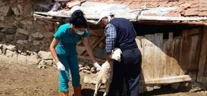 Aslanapa'da küçükbaş hayvanlara küpeleme ve aşılama çalışmaları
