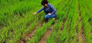 Aslanapa'da köylerde yem bitkisi ekili alanlarda kontrol