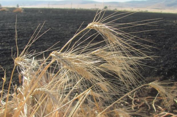 Araban'da 50 dönüm buğday kül oldu