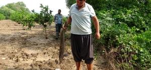 Narenciye bahçesinde balık topladılar Adana'da dün akşam etkili olan şiddetli yağışlardan sonra alabalık çiftliklerindeki tonlarca balık sel sularıyla birlikte narenciye bahçelerine saçıldı Vatandaşlar sabahın erken saatlerinden itibaren narenciye bahçelerinde tonlarca balık topladı