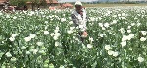 """(ÖZEL) Haşhaş tarlaları beyaza büründü Kütahyalı üretici Hasan Pınar: """"Bu yıl haşhaştan yüksek bir rekolte bekliyoruz"""""""