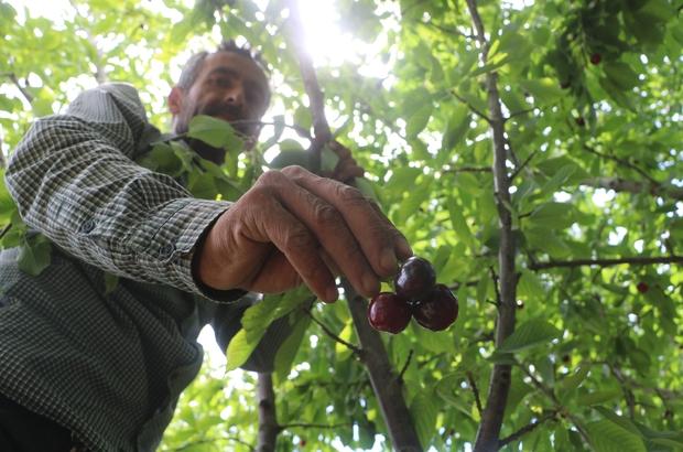 Dalbastı kirazında hasat başladı, rekolte düşük kaldı Düşük rekolte çiftçiyi kara kara düşündürüyor