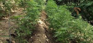 Hatay'da ormanlık alanda 5 bin 612 bitkisi kenevir bitkisi ele geçirildi