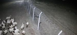 Şanlıurfa'da çizgili sırtlan kameraya takıldı Aç kalan çizgili sırtlan koyun çiftliğinde tel örgüye takıldı