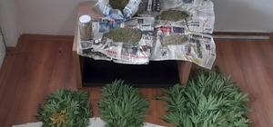Evin bahçesinde 110 kök kenevir yetiştirdiler Hint keneviri yetiştiren 2 şüpheliden 1'i tutuklandı