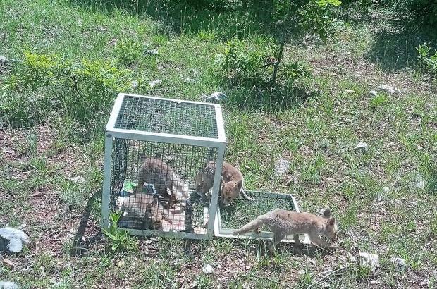 Yavru tilkiler doğal yaşam alanlarına bırakıldı