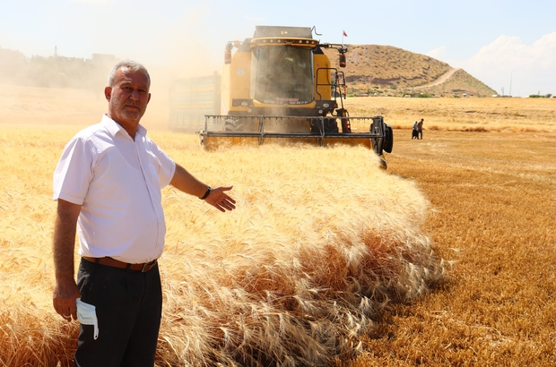 Dev makarnacıların peşinde olduğu Araban buğdayı hasadı başladı Araban Ovası'nda yetişen makarnalık sert buğday hasadı başladı
