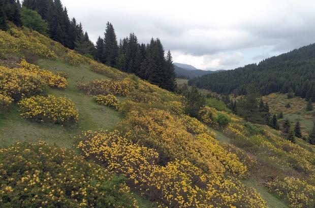 Orman gülleri yaylaların güzelliğini arttırdı