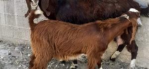 Alkolün etkisiyle başkasına ait keçiyi evine götürdü, sabah muhtara teslim etti