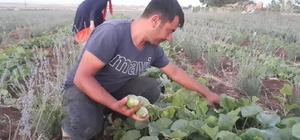 Şanlıurfa'da şelengo hasadı başladı Dışı karpuza, içi kavuna ve tadı ise salatalığa benzeyen şelengonun hasadı başladı
