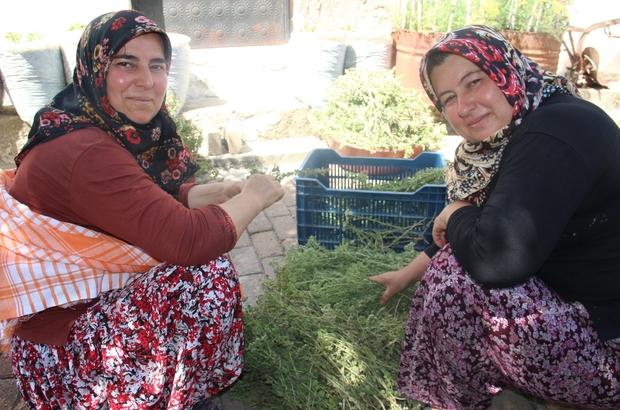 Aydın'da köylü kadınlar virüsten korunmak için atadan kalma yöntemle kekik suyu çıkarıyor Korona virüs kekik suyunun kıymetini artırdı