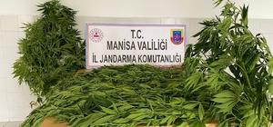 Kenevir ekimi fotokapana takıldı Manisa'nın iki ilçesinde 197 kök kenevir bitkisi ele geçirildi