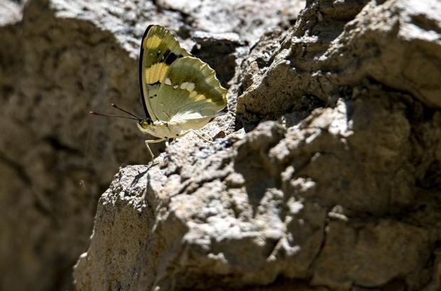 Van'daki vadiler rengarenk kelebeklere ev sahipliği yapıyor Bölgeye has 'Şehzade' ve 'Rozenin Çokgözlüsü' kelebeği doğa ve kelebek fotoğrafçılarını bölgeye çekiyor