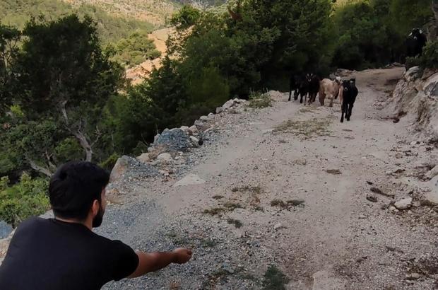 1 haftadır kayıp olan keçiler drone ile bulundu Besicinin keçilerine kavuşma anı da görüntülendi