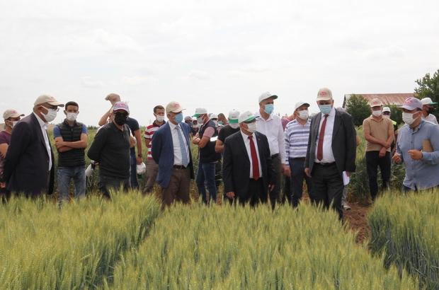 Konya gıda ve tarım üniversitesi yerli ve milli buğday ıslahında sona geldi
