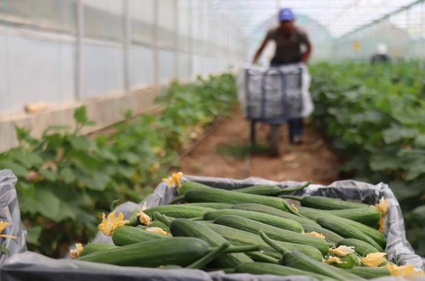 """Yeni trend yayla seracılığında ilk salatalık hasadı yapıldı Denizli'de açıkta salatalık üretimi yerini yayla seralarındaki salatalığa bırakıyor Salatalık üreticisi Serdar Yılmaz: """"Burası yayla olduğu için salatalıklarımız biraz geç oluyor"""""""