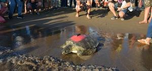 Uydu takip cihazı takılan yeşil deniz kaplumbağası denize bırakıldı Muğla'da, DEKAMER görevlilerince birine uydu takip cihazı yerleştirilen 4 yeşil deniz kaplumbağası denizle buluştu